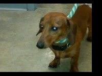 Dachshund - Chewee - Medium - Adult - Male - Dog