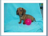 Dachshund - Chi Chi - Small - Baby - Female - Dog CHI