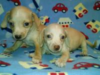 Cute Chiweenie puppies. Will steal your hearts. Will be
