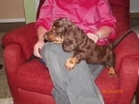 Blaze is a mini long hair dachshund, he was born