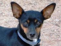 Dachshund - Clyde - Small - Adult - Male - Dog Clyde is