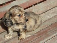 born sept 8- cream dapple/brindle longhair male