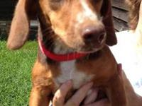 Dachshund - Daisy - Small - Young - Female - Dog Daisy