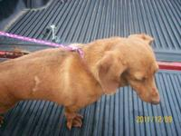 Dachshund - Davy - Medium - Adult - Male - Dog I know