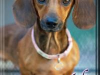 Dachshund - Delilah Rose - Small - Adult - Female -