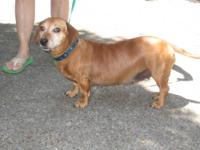 Dachshund - Dixie - Small - Adult - Female - Dog DIXIE