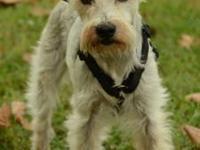 Dachshund - Dixie - Small - Adult - Female - Dog Dixie