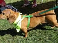 Dachshund - Duchess - Small - Adult - Female - Dog