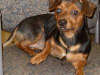 Dachshund - Dusty - Small - Adult - Male - Dog For more