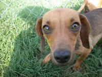 Dachshund - Emily - Small - Adult - Female - Dog Hello