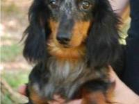 Gypsy is a very showy black and tan dapple female