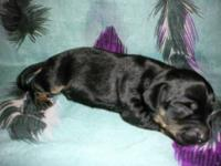 I have 3 mini dachshund pups will be very small mom is