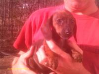 i have 1 female dachshund puppy she is tan/reddish have