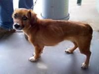 Dachshund - Fenway - Small - Adult - Male - Dog Fenway