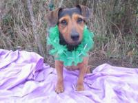 Dachshund - Fred - Medium - Adult - Male - Dog Hi, I'm