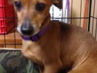 Dachshund - Fritz - Small - Adult - Male - Dog HI I am