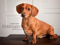 Dachshund - Frost-5707 - Small - Adult - Male - Dog
