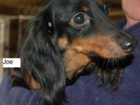 Dachshund - Gina - Small - Adult - Female - Dog My name