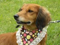 Dachshund - Ginger - Small - Adult - Female - Dog