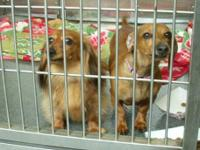 Dachshund - Honey - Small - Adult - Female - Dog Honey