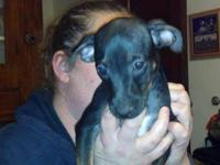 Dachshund - Honey - Small - Baby - Female - Dog 10 week