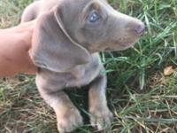 Purebreed Dachshund Puppy 12 weeks Isabela color $950
