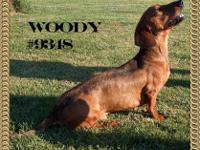 Dachshund - Jack - Small - Young - Male - Dog Hi, my