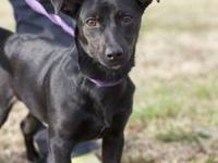 Dachshund - Layla - Small - Adult - Female - Dog