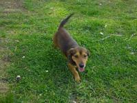 Dachshund - Lenny - Small - Adult - Male - Dog Lenny