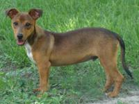 Dachshund - Leo - Small - Young - Male - Dog Leo is