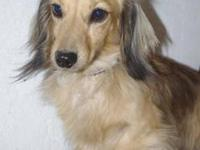 Dachshund - *lily - Small - Adult - Female - Dog Lily