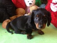 ACA registered Black and Tan long hair male puppy Vac &