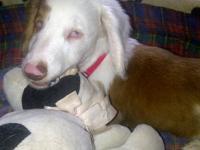 Dachshund - Louie - Small - Baby - Male - Dog A blind