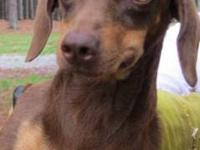 Dachshund - Lulu - Small - Adult - Female - Dog If