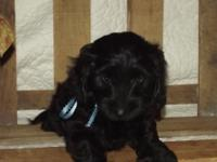 Beautiful 8 week old puppy.. HIS NAME IS ORRY...Mommy