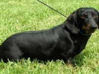 Dachshund - Max - 39775a - Small - Adult - Male - Dog