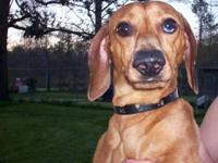 Dachshund - Max - Small - Young - Male - Dog