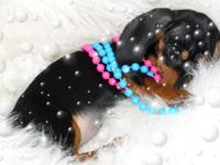 Dachshund Minis, ACA registered, male and lady,