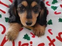 Dachshund Mini AKC Black & & Tan Female born 11/05/2014