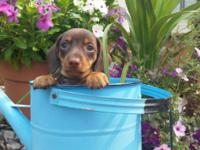 Dachshund Mini AKC Chocolate Smooth Male $800.00