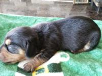 Dachshund Mini AKC Female 3 Black & Tan born 03/01/2015