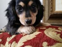Dachshund Mini AKC Female Black&& Cream long hair born
