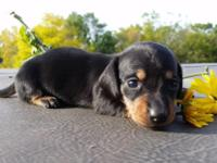 Dachshund Mini AKC Male Black & Tan **$850.00 Hi, my
