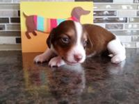 Dachshund Mini AKC Piebald Long Hair Male $900.00