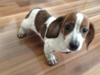 Beautiful Miniature Red Brindle Piebald short haired