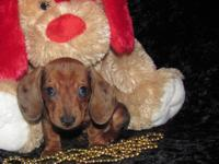 "Dachshund"" Mini"" Gorgeous Long & & Short Layer Pups,"