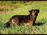 Dachshund - Mini Me - Small - Adult - Male - Dog Mini
