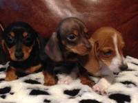 Dachshund Mini Pups!! Ready for new homes now:)) First