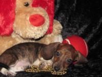 "Dachshund Pups"" Mini"" Long & & Short Coat, Male & &"