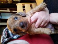 1 male, 1 female. Shaded Red Dapple mini dachshund
